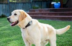 Whistle 3 GPS宠物追踪器找到一只失控宠物亚马逊现在售价64美元